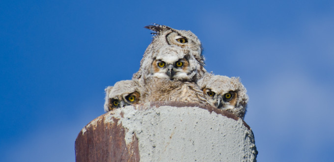 20 Interesting Facts about the Great Horned Owl – Withme