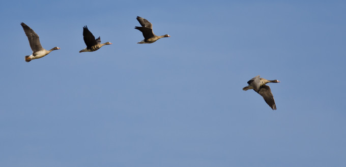 Greater-White-Fronted-Geese-In-Flight